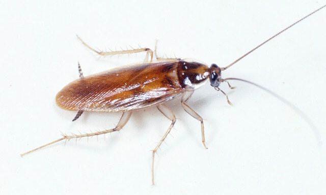 Наиболее распространенный вид тараканов – рыжие тараканы