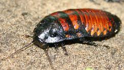Мадагаскарский таракан – это шипящий вредитель, который не имеет крыльев