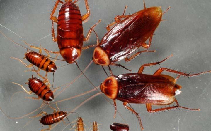 Зараженный таракан успевает транспортировать на своих усиках и лапках остатки геля. В итоге заражаются все члены тараканьей семьи