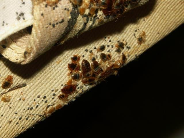 Клопы прячутся в складках тканевой обивки мебели, в особенности если она не новая