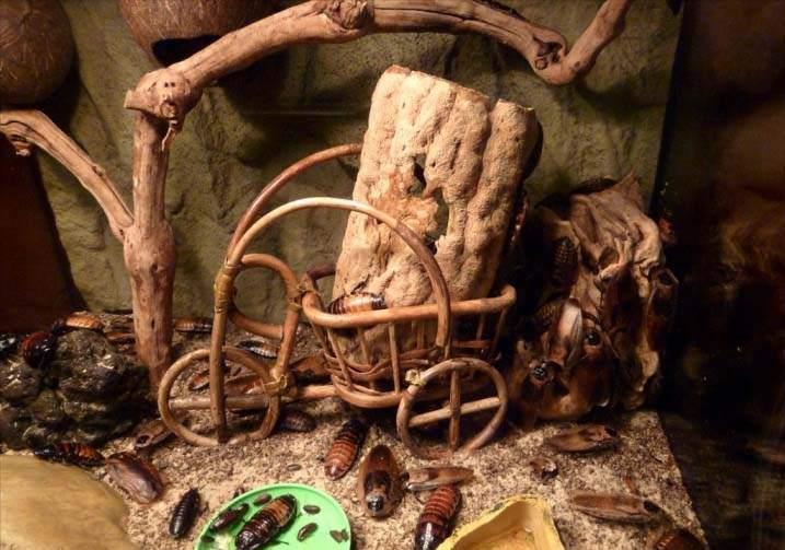 Размножение и обитание мадагаскарских тараканов может идти дома