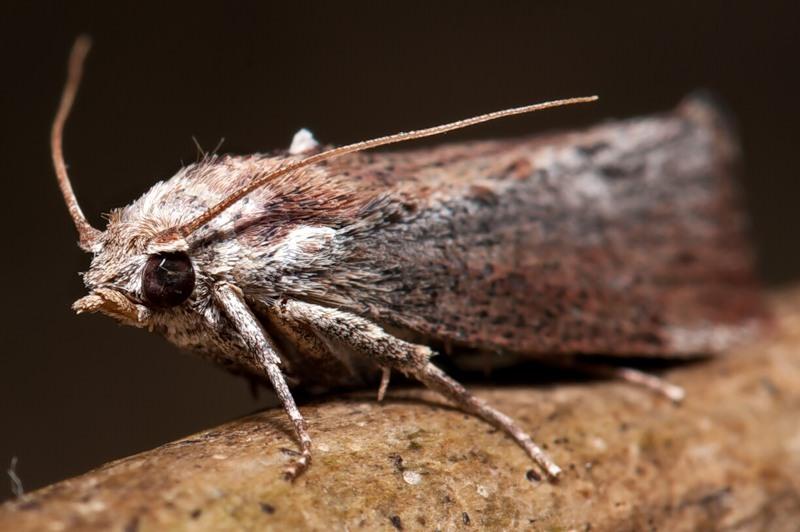 Опасность для шубы представляет лето, когда бабочки активизируются и температура становится комфортной для размножения и роста личинок