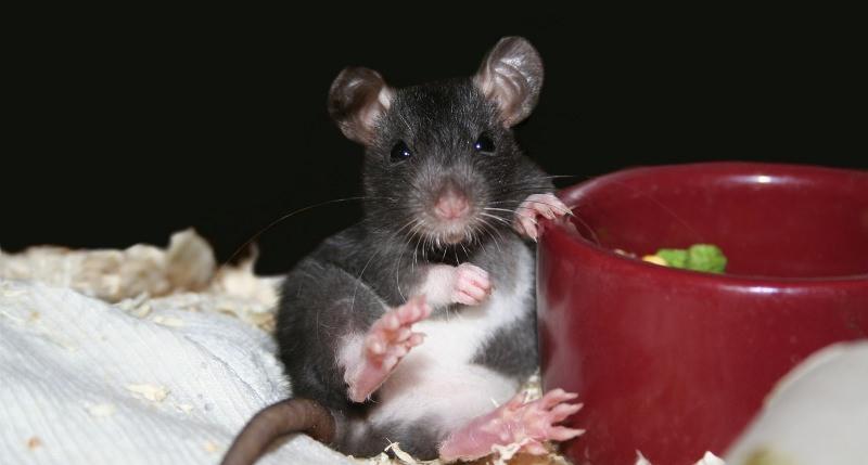 Одомашненная крыса, при достойном уходе, может жить 5 лет