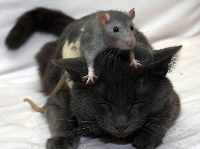 Крысы очень легко приручаются