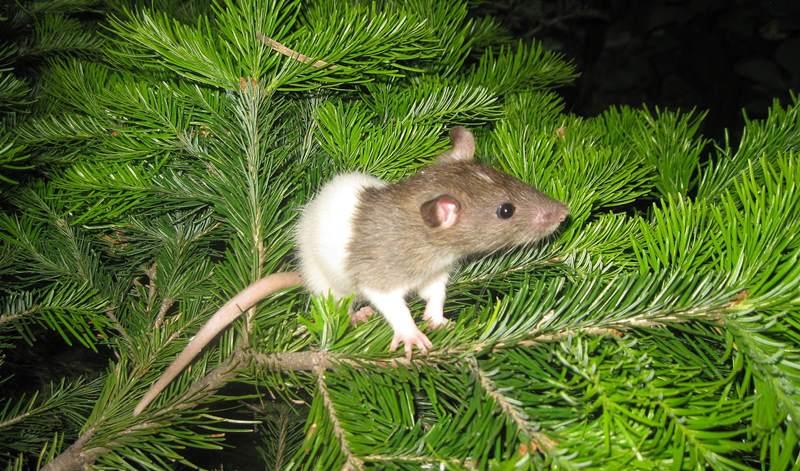 Самая распространенная продолжительность жизни крысы в домашних условиях составляет 2-3 года
