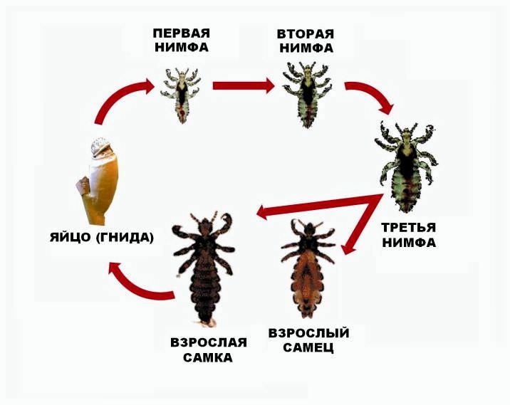 Все разновидности вшей имеют сходный тип размножения