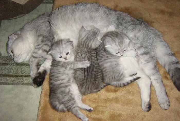 Капли от блох «Чистотел» назначаются взрослым животным, а также детёнышам старше двух месяцев