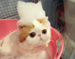 Шампуни для кошек эффективны в борьбе против блох