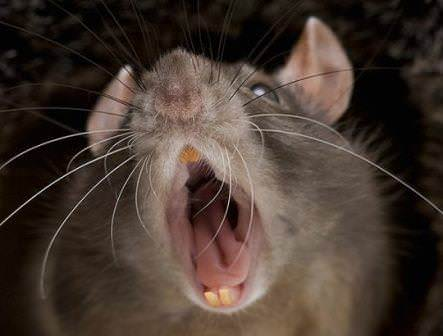 Стоит заметить, что укус крысы может быть весьма опасным