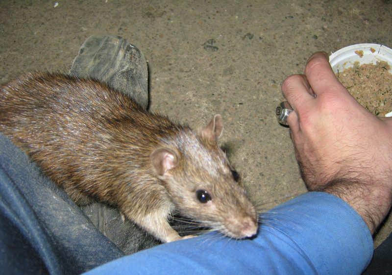 Несмотря на свой компактный размер, укусы крыс могут быть очень опасными, так как грызуны могут переносить серьезные заболевания