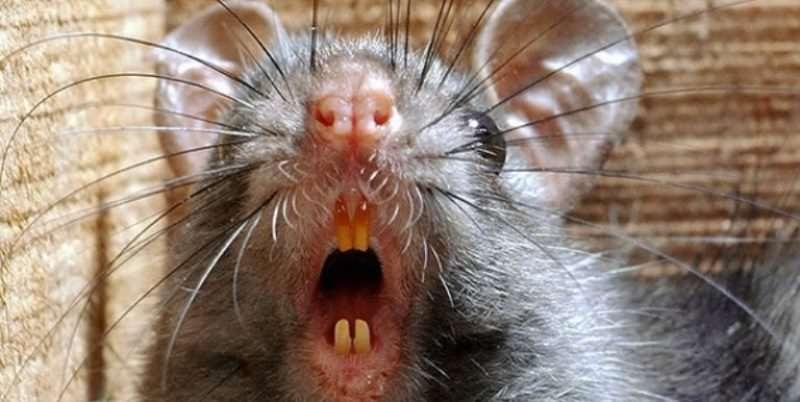 Особенно опасными для человека являются резцы, расположенные на нижней челюсти