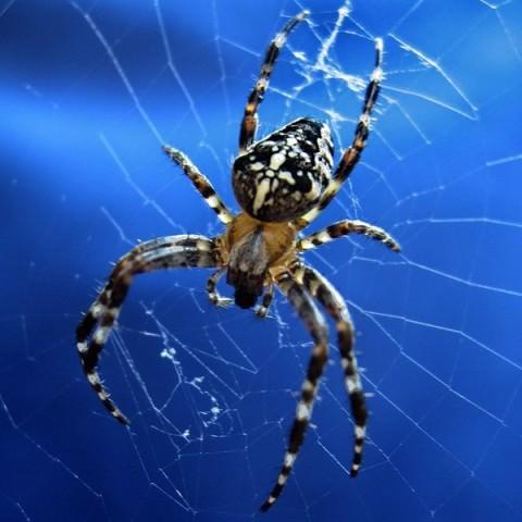 Укусить человека могут более крупные особи, например, крестовик, домашние черные пауки, но опасности здоровью их укусы не представляют