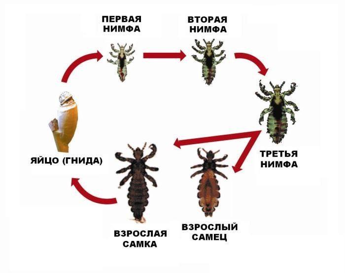 паразиты в волосах человека кроме вшей фото