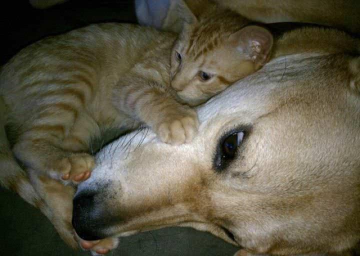 Заразиться блохами котята могут от других животных, живущих в доме