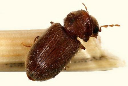 Как избавиться от жука усача