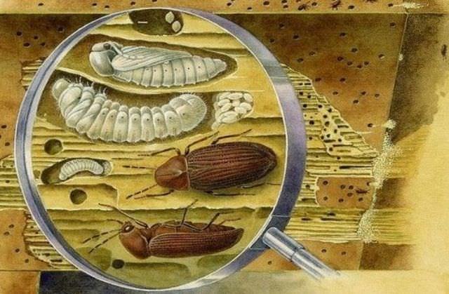 Жуки, употребляющие в пищу дерево, в нашей стране представлены десятком разнообразных видов с красноречивыми названиями: точильщик, сверлильщик, долгоносик, лжекороед-капюшонник  и, наконец, жук-древоточец