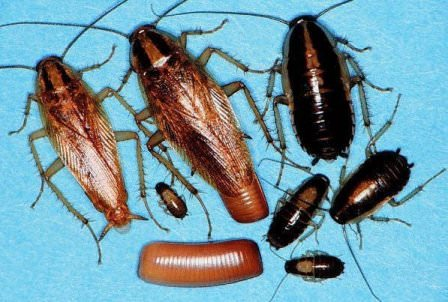 Дезинфекторов рекомендуется вызывать при первом появлении черных точек экскрементов этого насекомого на штукатурке, обоях или других поверхностях