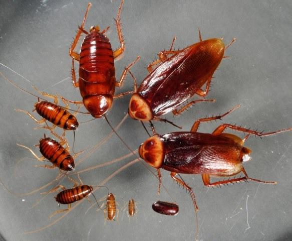 Любые виды тараканов опасны в городской квартире