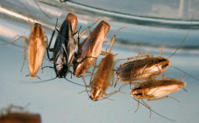 Все виды тараканов проживают в закрытых емкостях, которые легко найти на любой кухне или в ином подсобном помещении, включая мусорные контейнеры