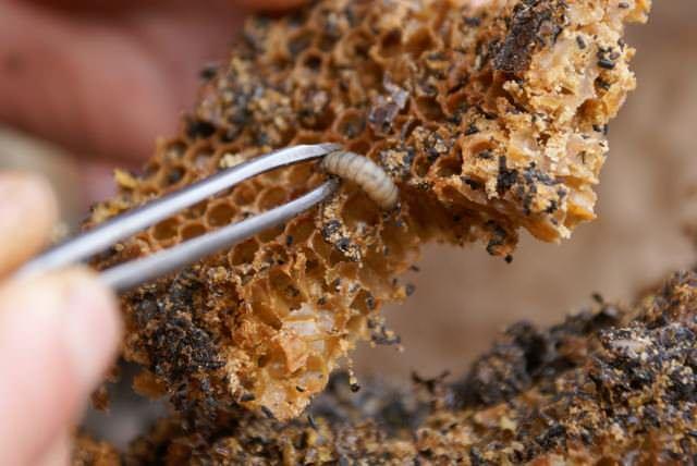 Если вашей целью является спасти пасеку и урожай меда, тогда необходимо реализовать борьбу против вредителя