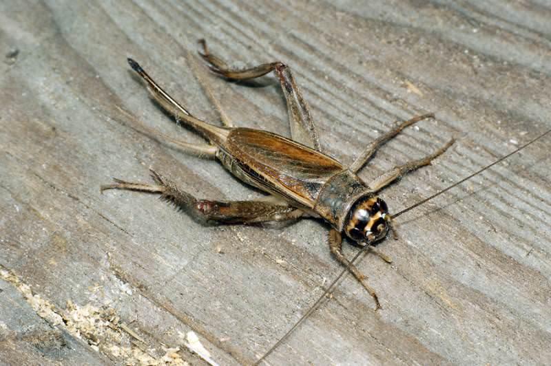 На земном шаре эти насекомые появились 300 млн. лет назад. В России можно встретить 50 видов сверчков