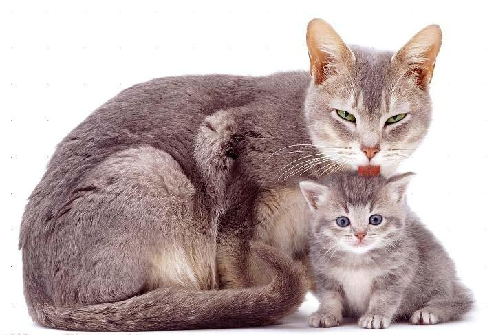 Мать-кошка вылизывает котят постоянно и может отравиться при обработке котенка средствами от блох
