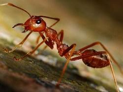 Если в доме появляются муравьи – хозяйки впадают в ярость