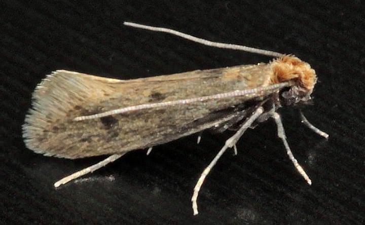 Моль шубная или Tinea pellionella относится к семейству настоящих молей и роду Tinea