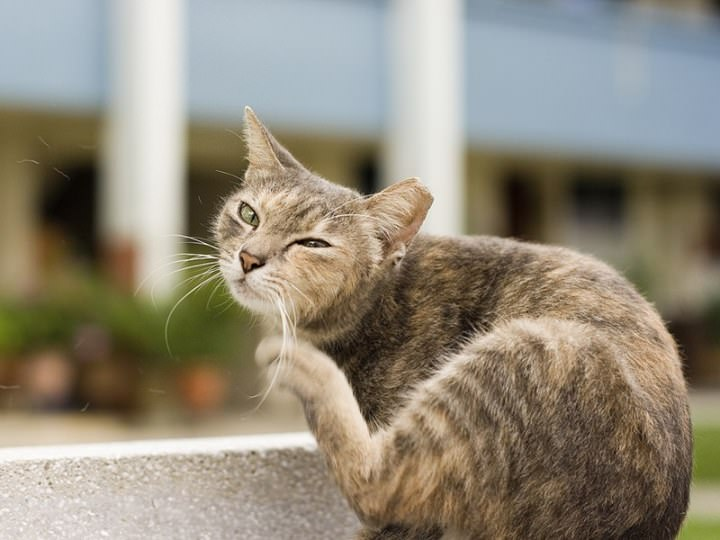 Если кот чешется, то, скорее всего, причина этому блохи