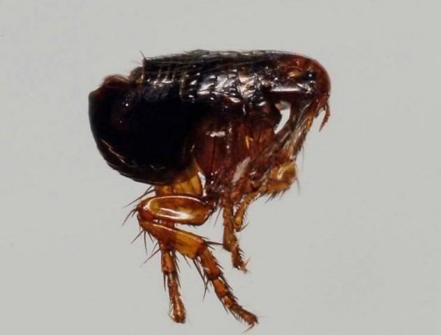 насекомые паразиты человека и животных урок