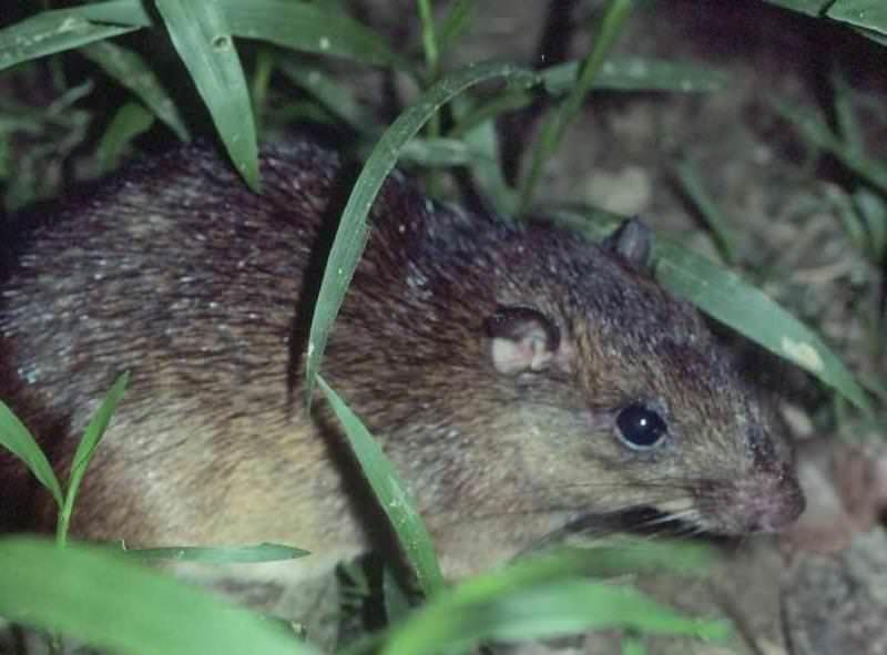 Животное относится к роду мышей, но с обычными крысами у него нет общих черт, за исключением размера и формы тела