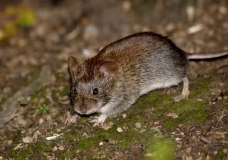 Такая крыса роет норки в почве не хуже, чем крот