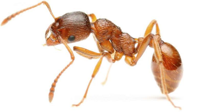 Желтые квартирные муравьи способны нанести немалый вред