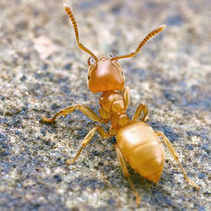 Желтые мелкие муравьи могут появиться в доме в любой момент