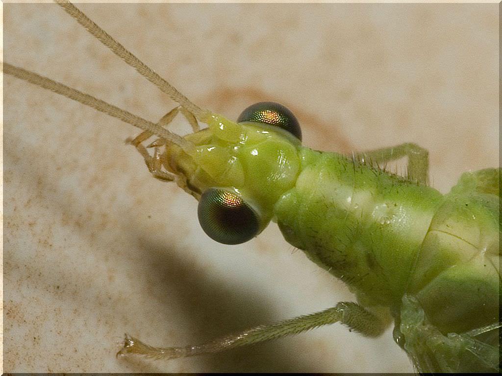 За удивительно красивые, отливающие золотом глаза эти эфемерные насекомые удостоились названия «златоглазка»